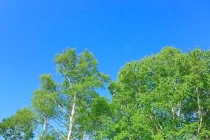 新緑のシラカバと青空の写真素材 [FYI02081374]