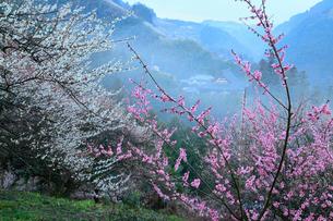 夜明け前の賀名生梅林の写真素材 [FYI02081384]