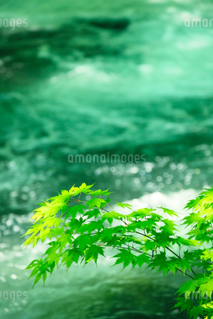清流と新緑のカエデの写真素材 [FYI02081425]