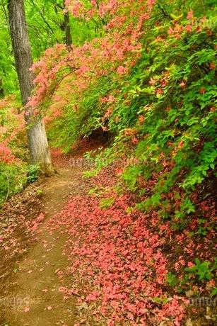 ヤマツツジの花散り敷く道の写真素材 [FYI02081461]