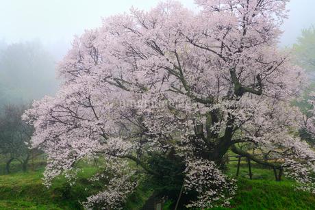 仏隆寺参道の千年桜の写真素材 [FYI02081544]