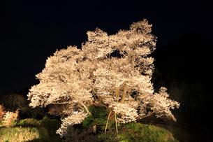 仏隆寺参道の千年桜 ライトアップ夜景の写真素材 [FYI02081590]