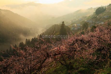 賀名生梅林と雲海の朝焼けの写真素材 [FYI02081592]