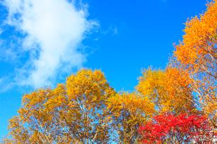 紅葉と青空の写真素材 [FYI02081596]