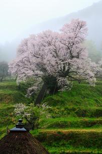 仏隆寺参道の千年桜の写真素材 [FYI02081601]