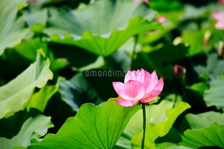 ハスの花の写真素材 [FYI02081613]