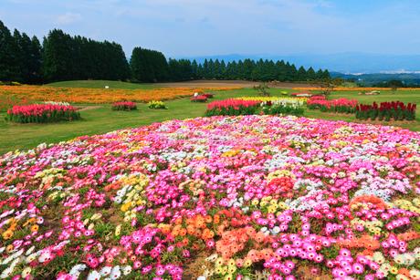 生駒高原 リビングストンデージー・金魚草・ポピーの花畑の写真素材 [FYI02081616]
