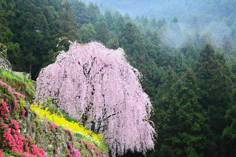 川井峠のシダレザクラの写真素材 [FYI02081626]