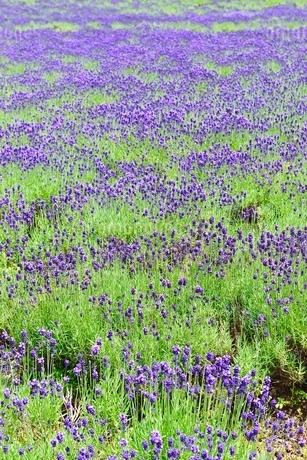 ラベンダー畑の写真素材 [FYI02081658]