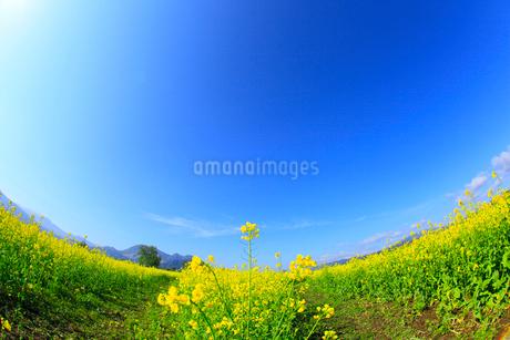 ナノハナ畑と小道の写真素材 [FYI02081723]