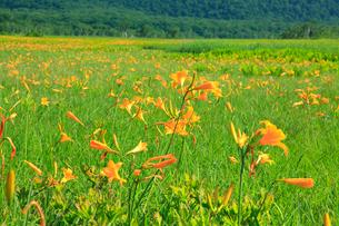 尾瀬ケ原 ニッコウキスゲの花の写真素材 [FYI02081731]