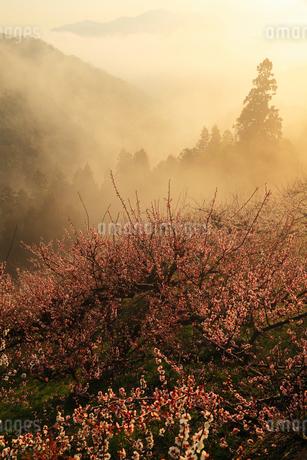 賀名生梅林と雲海の朝焼けの写真素材 [FYI02081755]