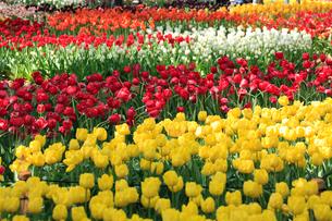 チューリップの花の写真素材 [FYI02081838]