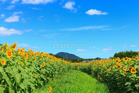 ヒマワリ畑と道の写真素材 [FYI02081947]