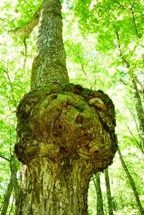 大樹のコブの写真素材 [FYI02081977]