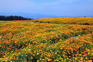 生駒高原 ポピーの花畑の写真素材 [FYI02081995]