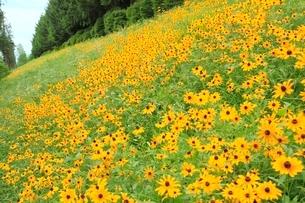 ハンゴンソウの花の写真素材 [FYI02082064]