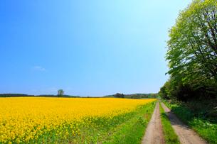 ナノハナ畑と小道の写真素材 [FYI02082114]
