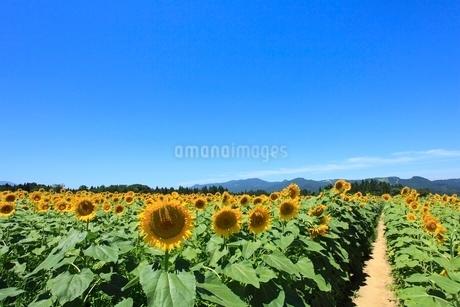 ヒマワリ畑の小道と山並みの写真素材 [FYI02082136]