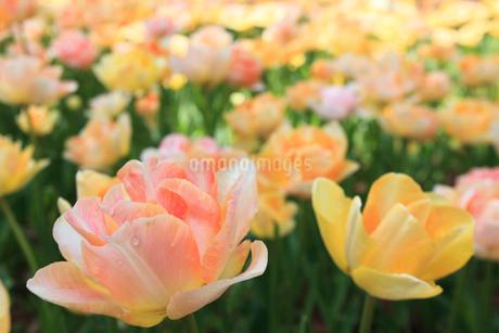 チューリップの花の写真素材 [FYI02082183]