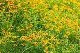 ハンゴンソウの花の写真素材 [FYI02082191]