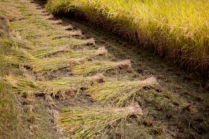 稲と刈り穂の写真素材 [FYI02082193]