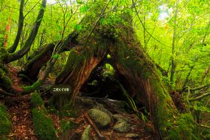 屋久島 白谷雲水峡 二代くぐり杉の写真素材 [FYI02082195]