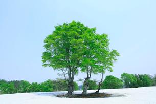 新緑の樹と残雪の写真素材 [FYI02082210]