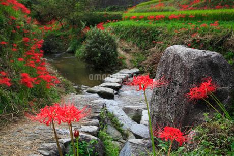 飛鳥川の飛び石とヒガンバナの写真素材 [FYI02082357]
