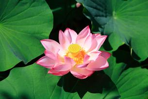 ハスの花の写真素材 [FYI02082390]