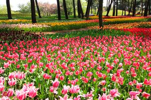 チューリップの花の写真素材 [FYI02082439]