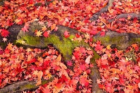 紅葉の散りもみじの写真素材 [FYI02082466]