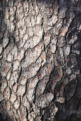 黒松の樹皮の写真素材 [FYI02082472]