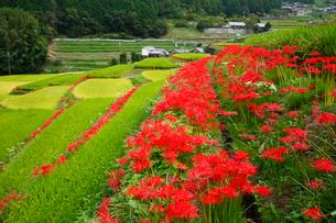 細川の棚田とヒガンバナの写真素材 [FYI02082487]