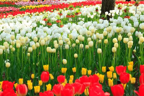 チューリップの花の写真素材 [FYI02082507]