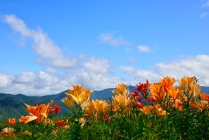 ユリの花と青空の写真素材 [FYI02082607]