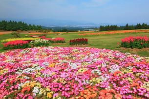 生駒高原 リビングストンデージー・金魚草・ポピーの花畑の写真素材 [FYI02082619]