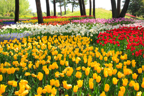 チューリップの花の写真素材 [FYI02082627]