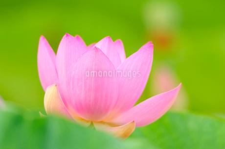ハスの花の写真素材 [FYI02082651]
