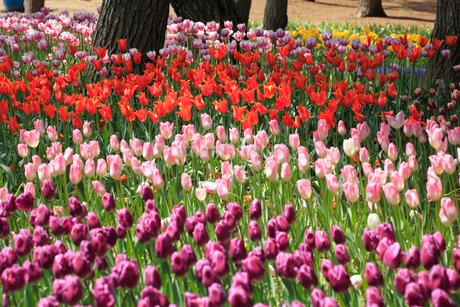 チューリップの花の写真素材 [FYI02082699]