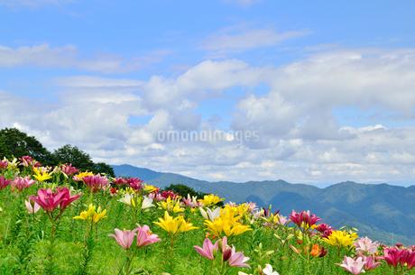 ユリの花と青空の写真素材 [FYI02082702]