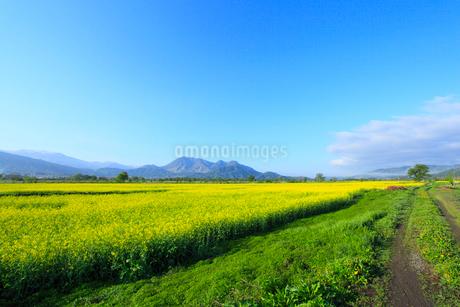 ナノハナ畑と小道 高社山の写真素材 [FYI02082727]