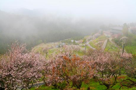 霧の広橋梅林の写真素材 [FYI02082899]