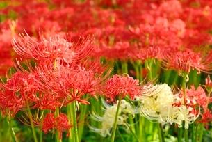 赤と白のヒガンバナの写真素材 [FYI02082905]