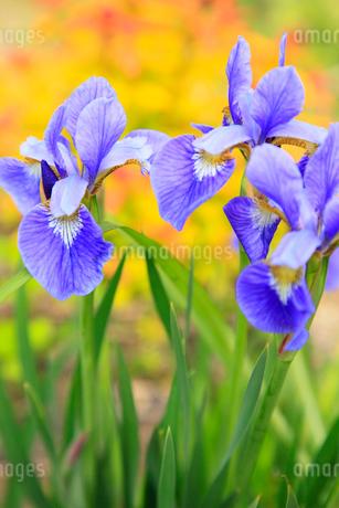 アヤメの花の写真素材 [FYI02082939]
