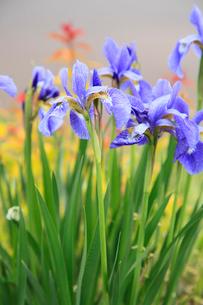 アヤメの花の写真素材 [FYI02082947]