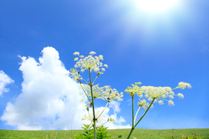 シシウドと入道雲に太陽光の写真素材 [FYI02082953]