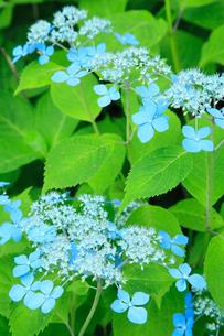 エゾアジサイの花の写真素材 [FYI02082967]