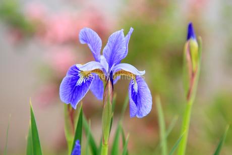アヤメの花の写真素材 [FYI02082976]