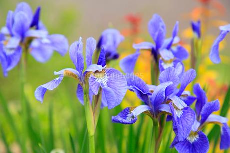 アヤメの花の写真素材 [FYI02082977]